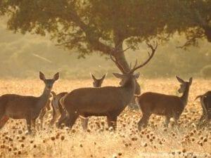 Ciervo Parque Nacional de Monfragüe