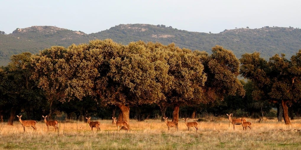 Deer rutting season in Monfrague, a unique event.